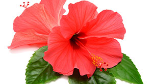 Hibiscus Mask to Control Hair Fall and Hair Growth