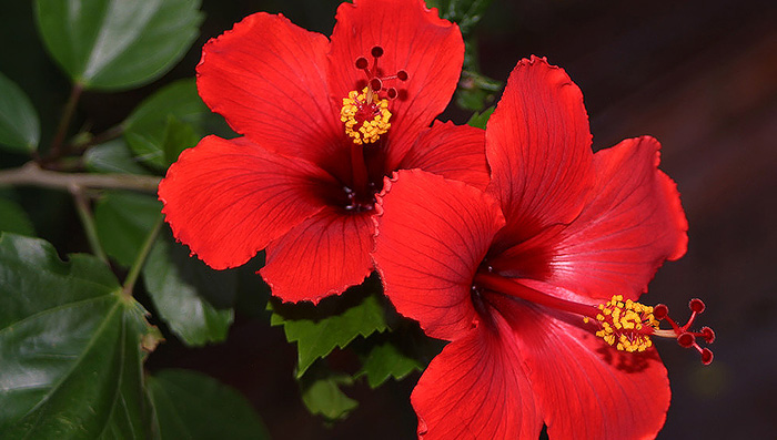 Hibiscus for Monsoon Hair Care