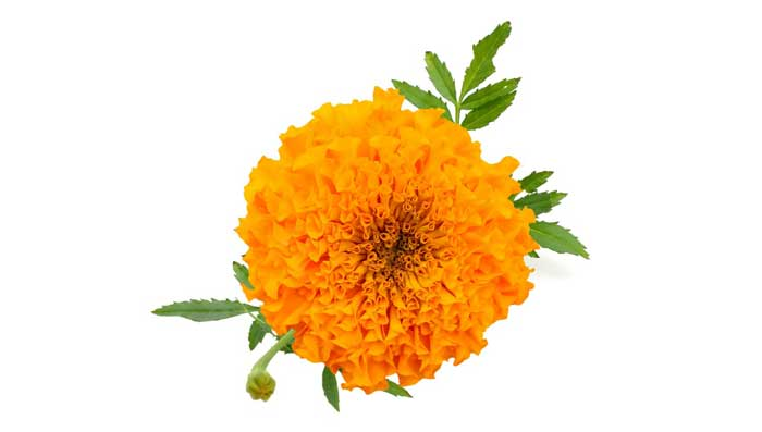 Marigold Flowers And Masoor Dal Face Pack For Skin Moisturisation