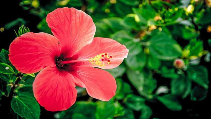 hibiscus uses and hibiscus benefits for hair