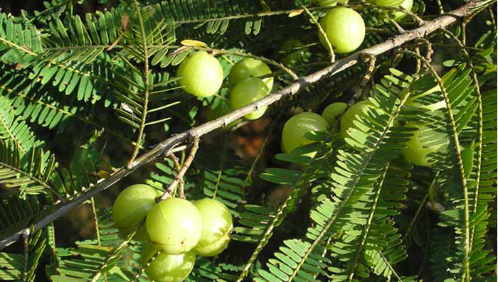 Benefits Of Amla For Hair & Skin