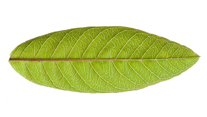 guava leaves benefits for hair and how to use guava leaves for hair growth