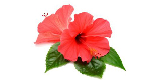 Benefits of Hibiscus Flower for Hair