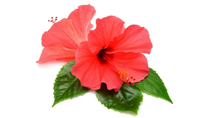 Beat Hair Fall with Hibiscus